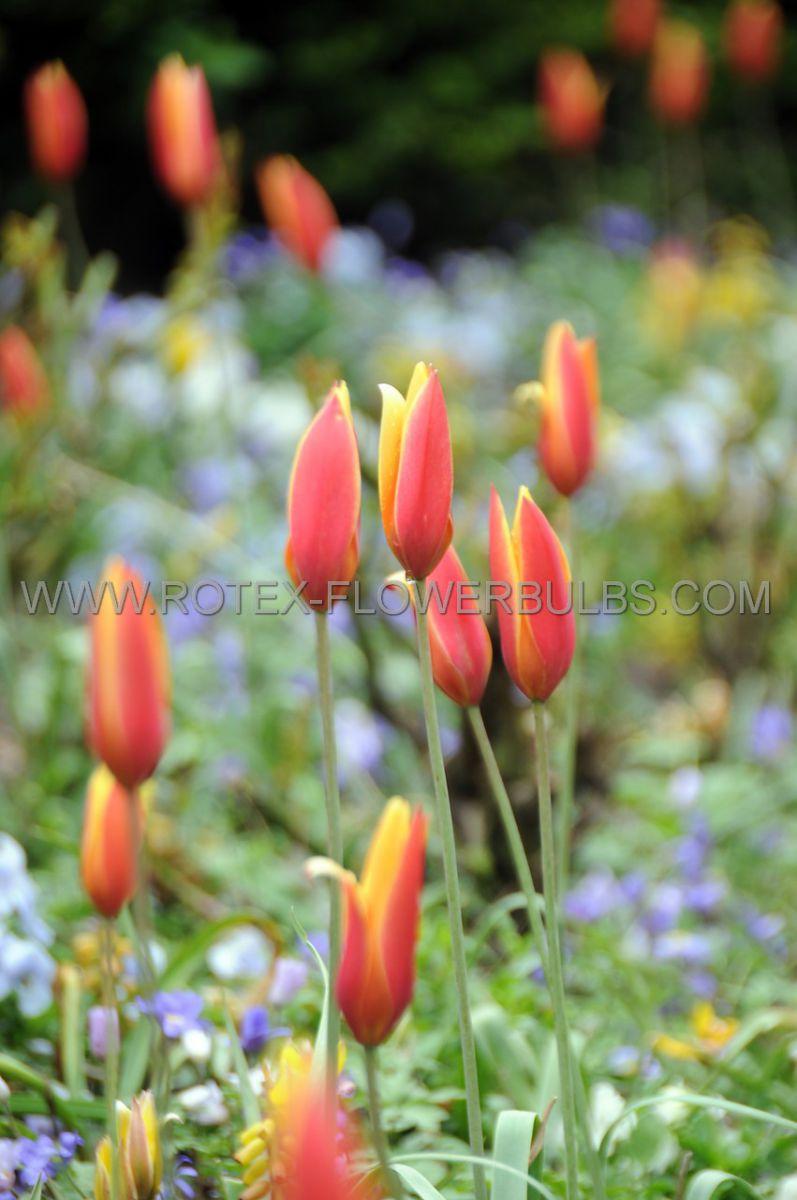 tulipa species chrysantha 6 cm 100 pbinbox