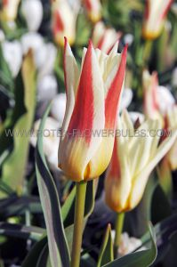 TULIPA SPECIES CLUSIANA 'PEPPERMINT STICK' 6/+ CM. (10 PKGS.X 10)