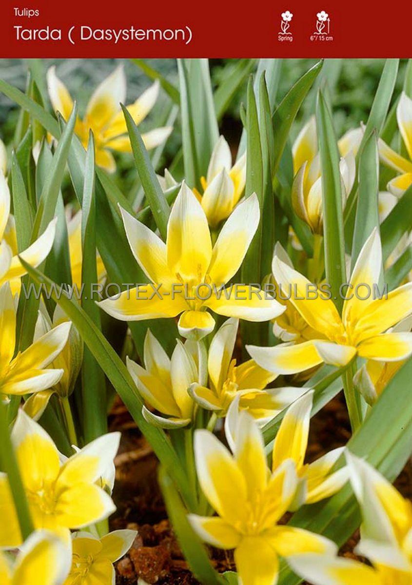 tulipa species dasystemon tarda 8 cm 100 pbinbox
