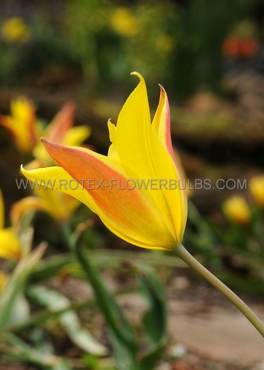 tulipa species kolpakowskiana 6 cm 100 pbinbox