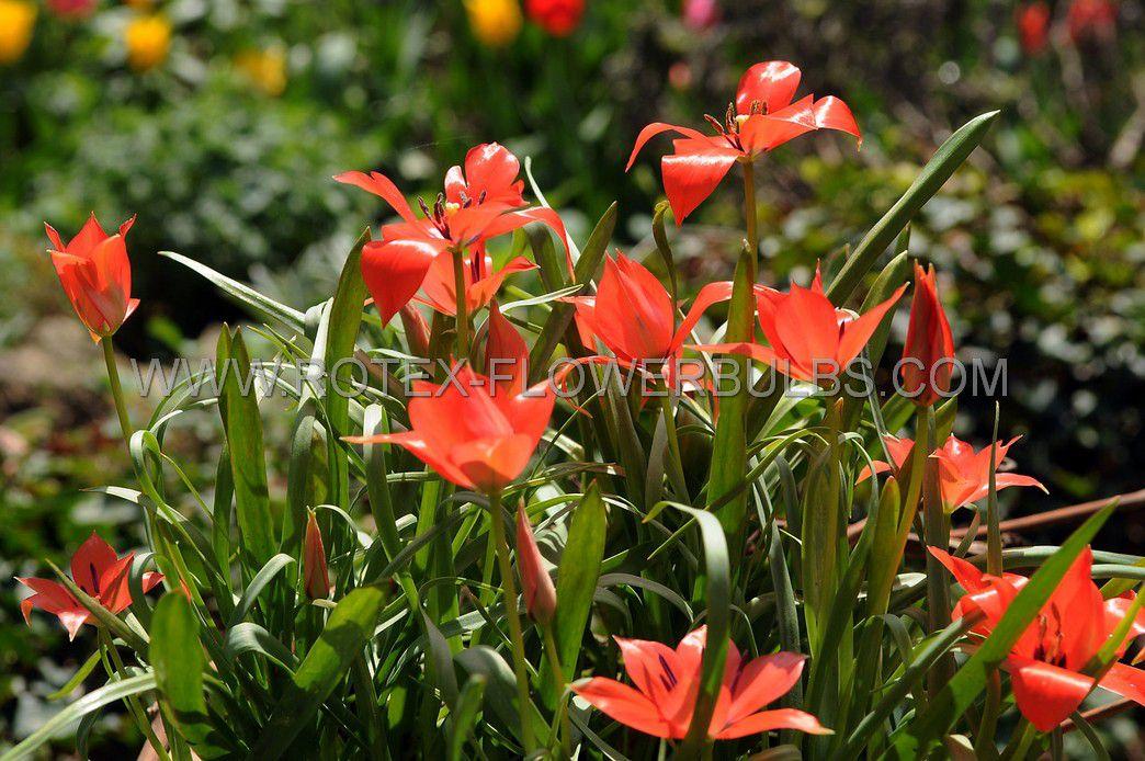 tulipa species linifolia 6 cm 100 pbinbox
