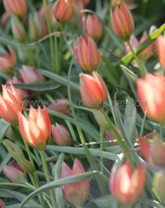 TULIPA SPECIES 'LITTLE PRINCESS' 6/+ CM. (100 P.BINBOX)