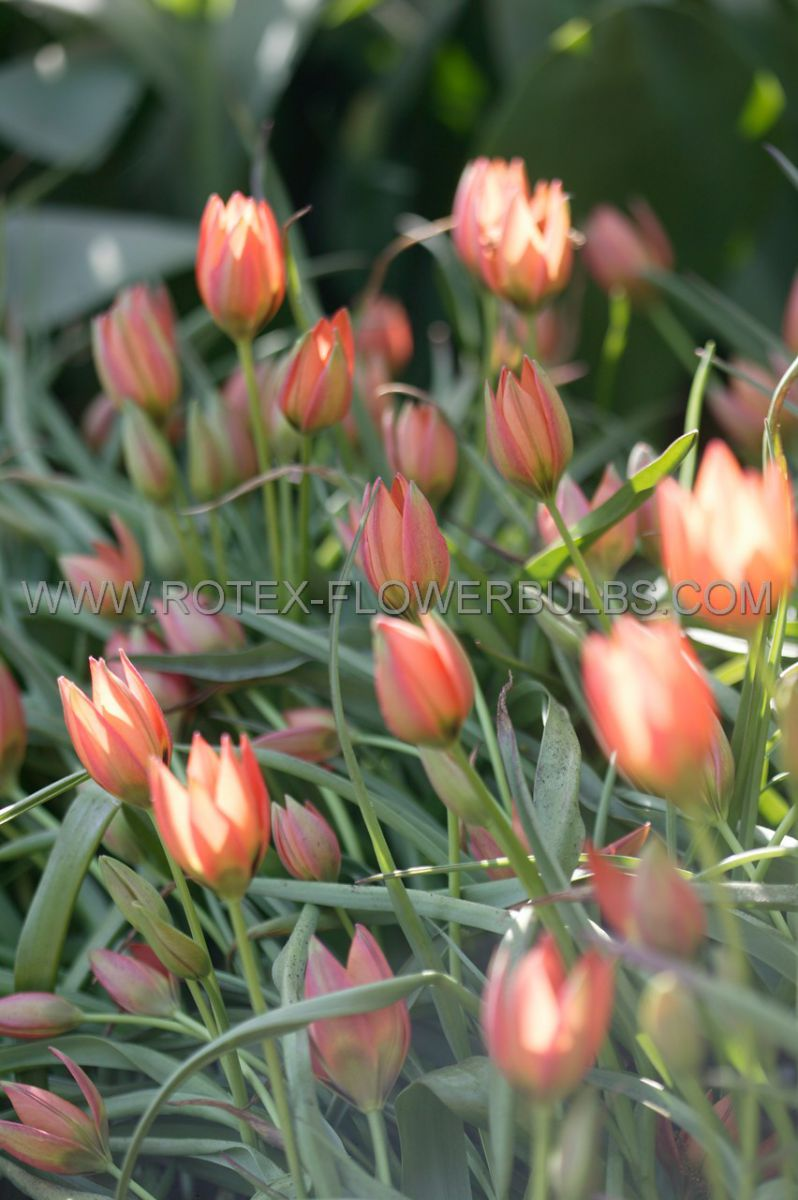 tulipa species little princess 6 cm 100 pbinbox
