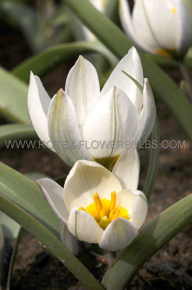 tulipa species polychroma 6 cm 100 pbinbox