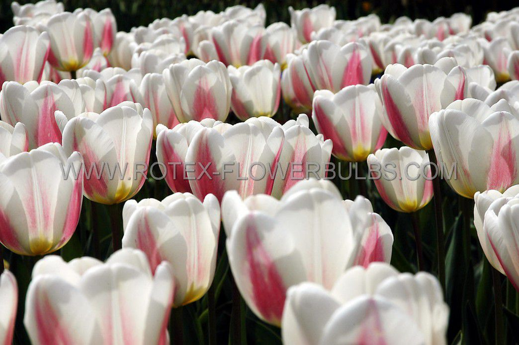 tulipa triumph apricona 12 cm 100 pbinbox