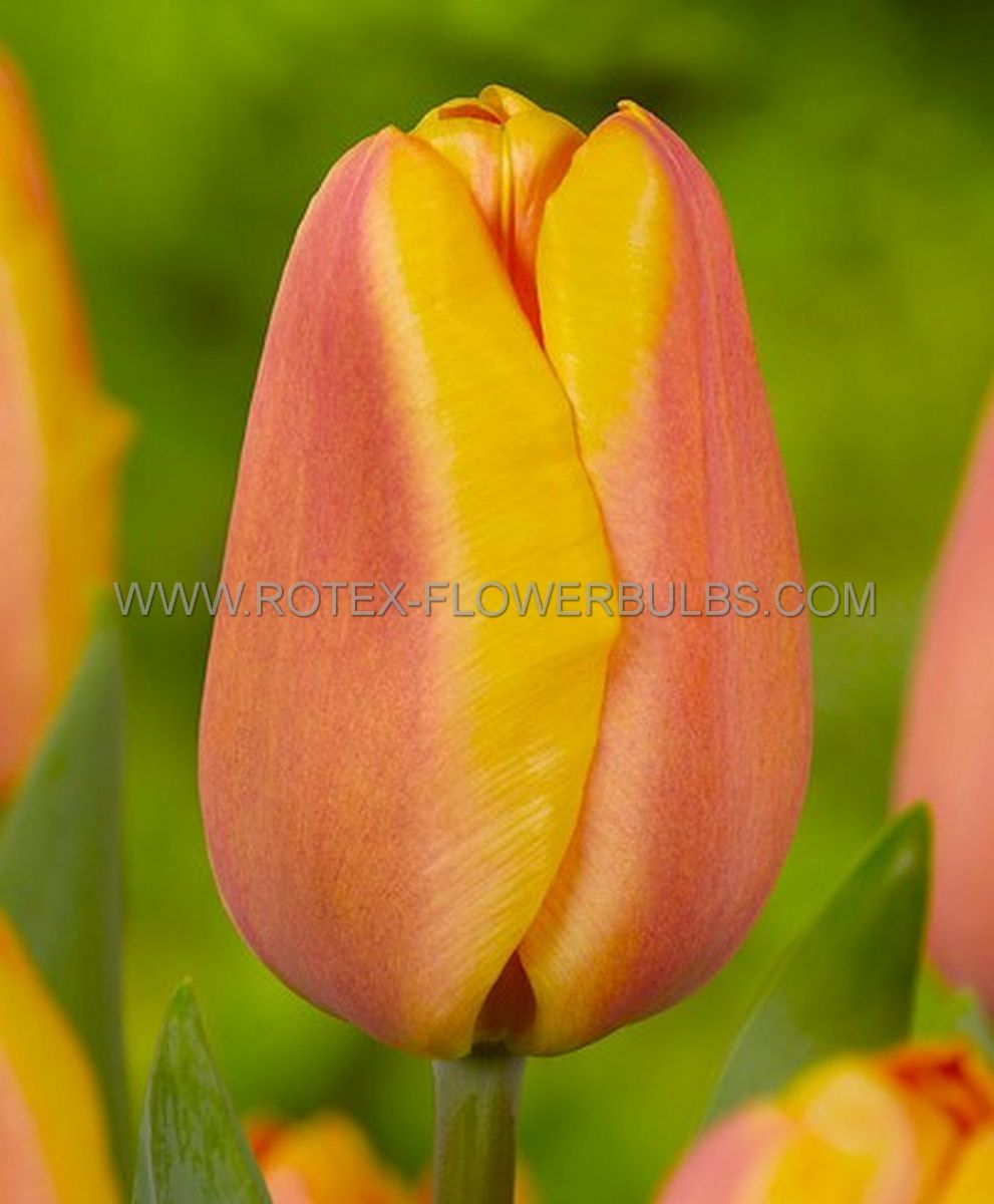 tulipa triumph apricot foxx 12 cm 100 pbinbox