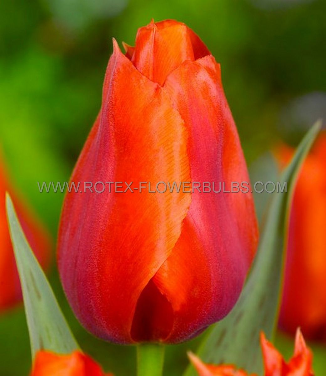 tulipa triumph bourbon street 12 cm 100 pbinbox