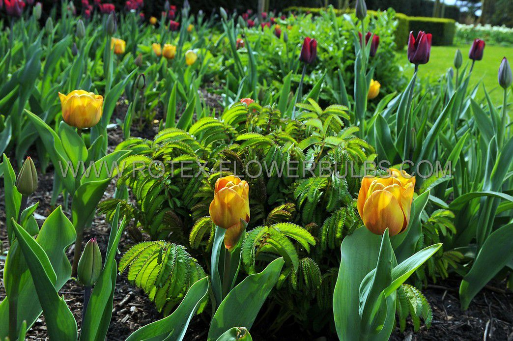tulipa triumph brown sugar 12 cm 10 pkgsx 10