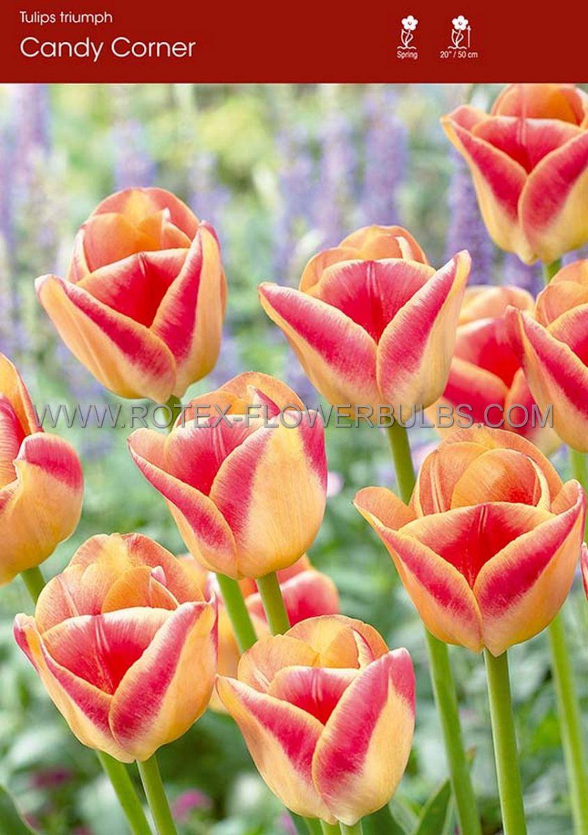 tulipa triumph candy corner 12 cm 100 pbinbox