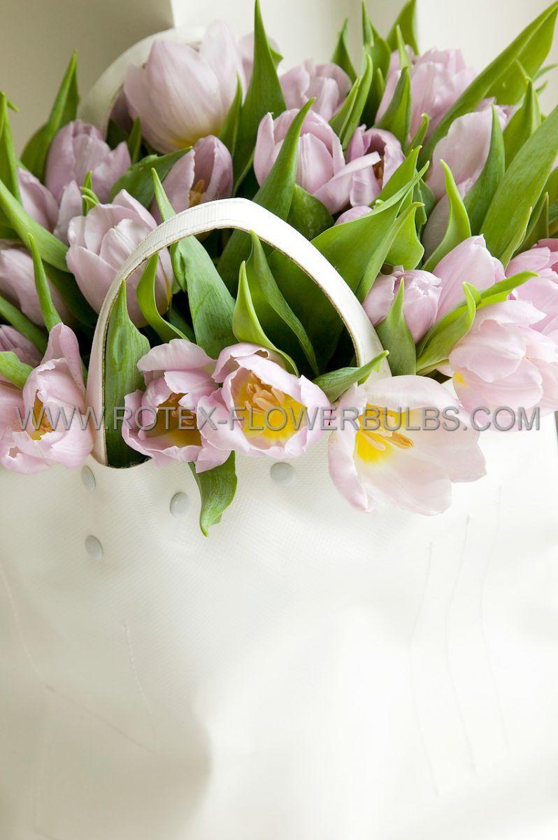 tulipa triumph candy prince 12 cm 100 pbinbox
