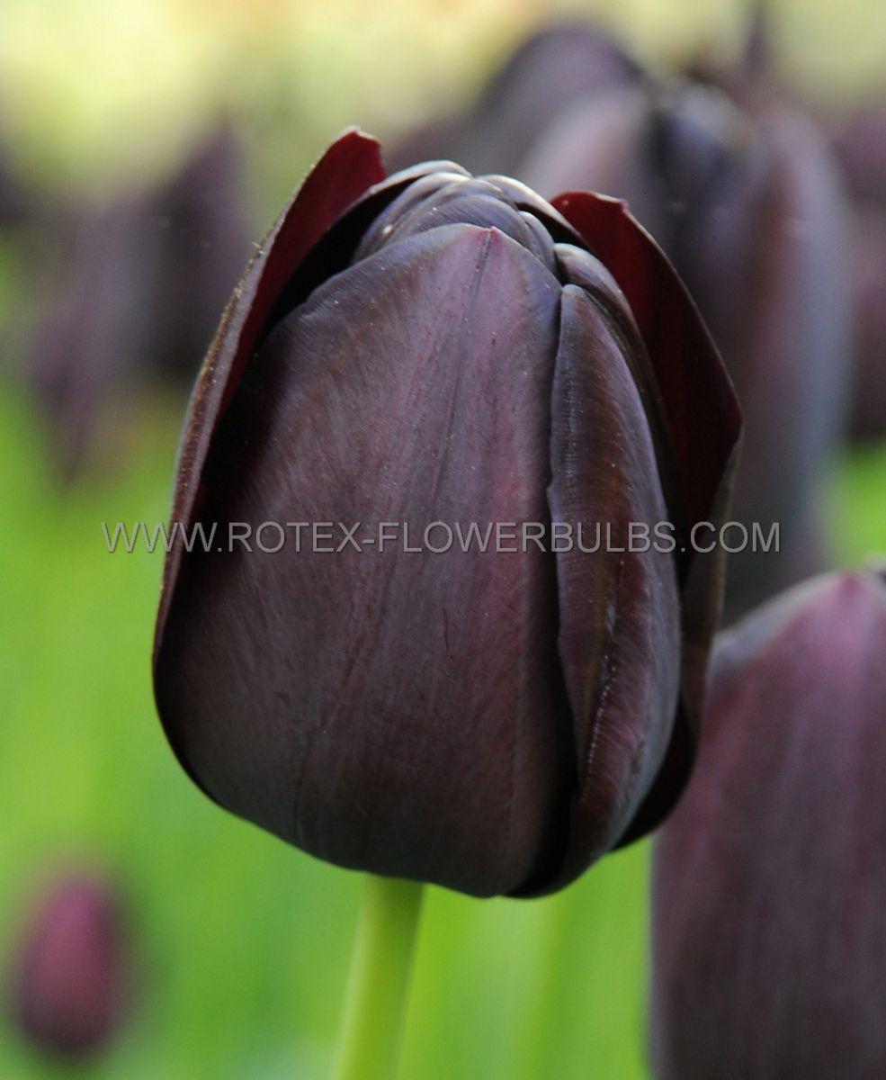tulipa triumph continental 12 cm 100 pbinbox