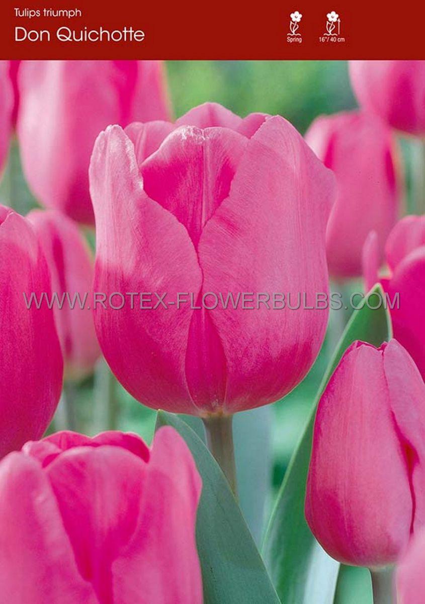 tulipa triumph don quichotte 12 cm 100 pbinbox