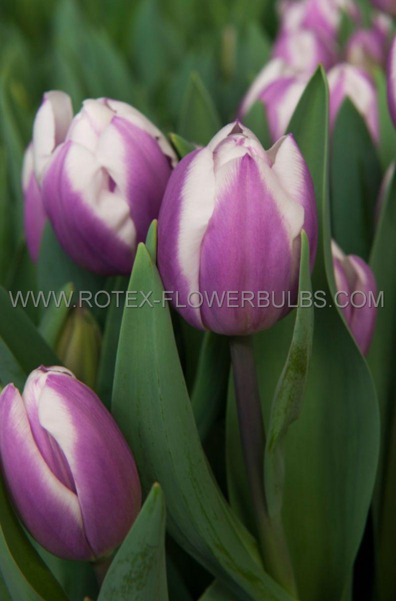 tulipa triumph dreaming maid 12 cm 100 pbinbox