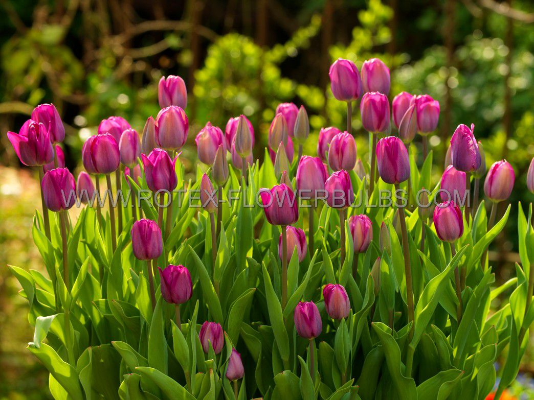 tulipa triumph dreamwish 12 cm 100 pbinbox