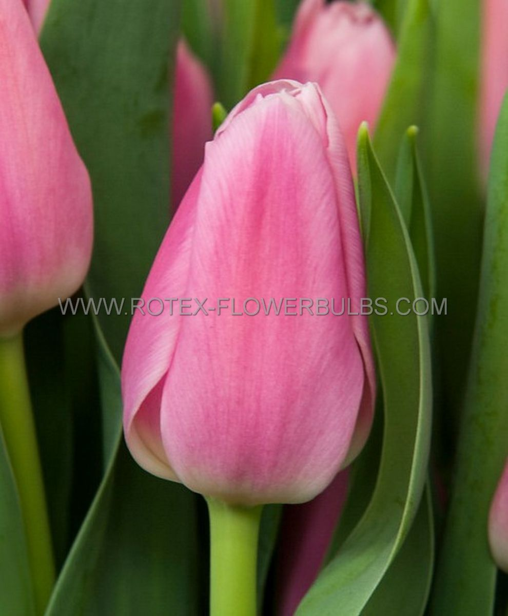 tulipa triumph early glory 12 cm 10 pkgsx 10