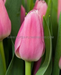 TULIPA TRIUMPH 'EARLY GLORY' 12/+ CM. (10 PKGS.X 10)