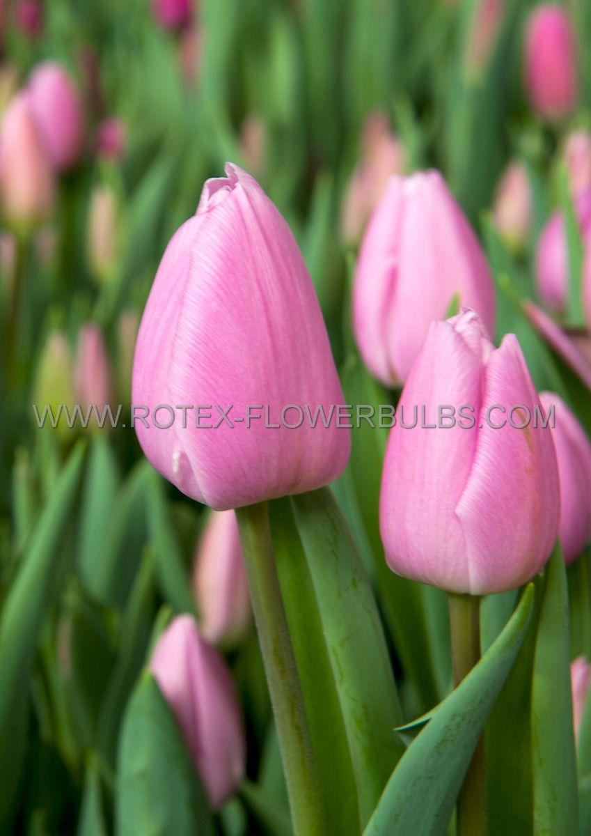 tulipa triumph early glory 12 cm 100 pbinbox