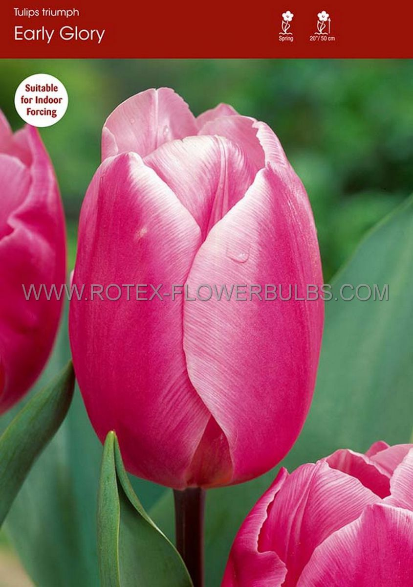 tulipa triumph early glory 12 cm 100 pbinbox