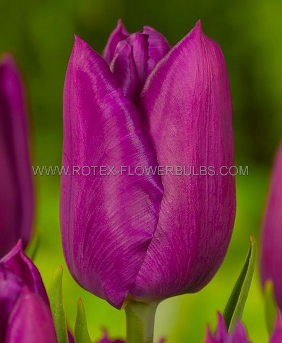 tulipa triumph endurance 12 cm 100 pbinbox