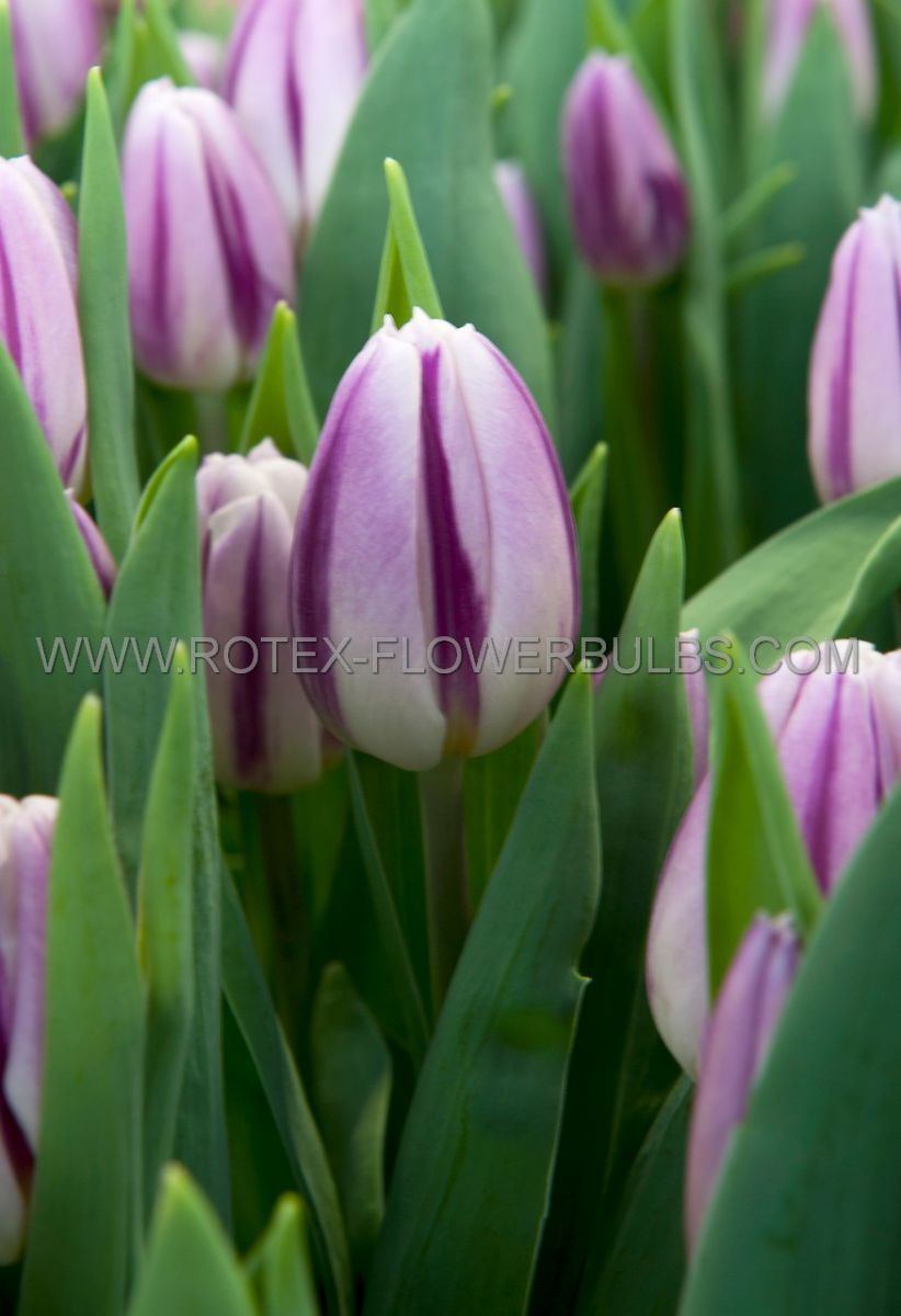 tulipa triumph flaming flag 12 cm 100 pbinbox