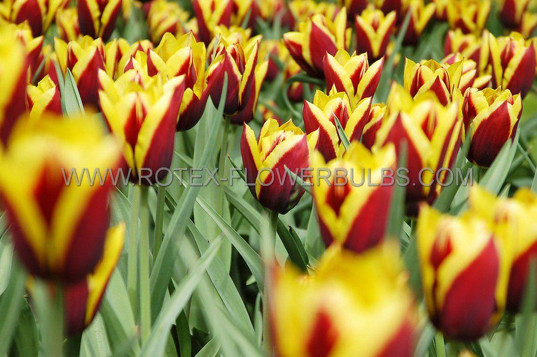 tulipa triumph gavota 12 cm 100 pbinbox