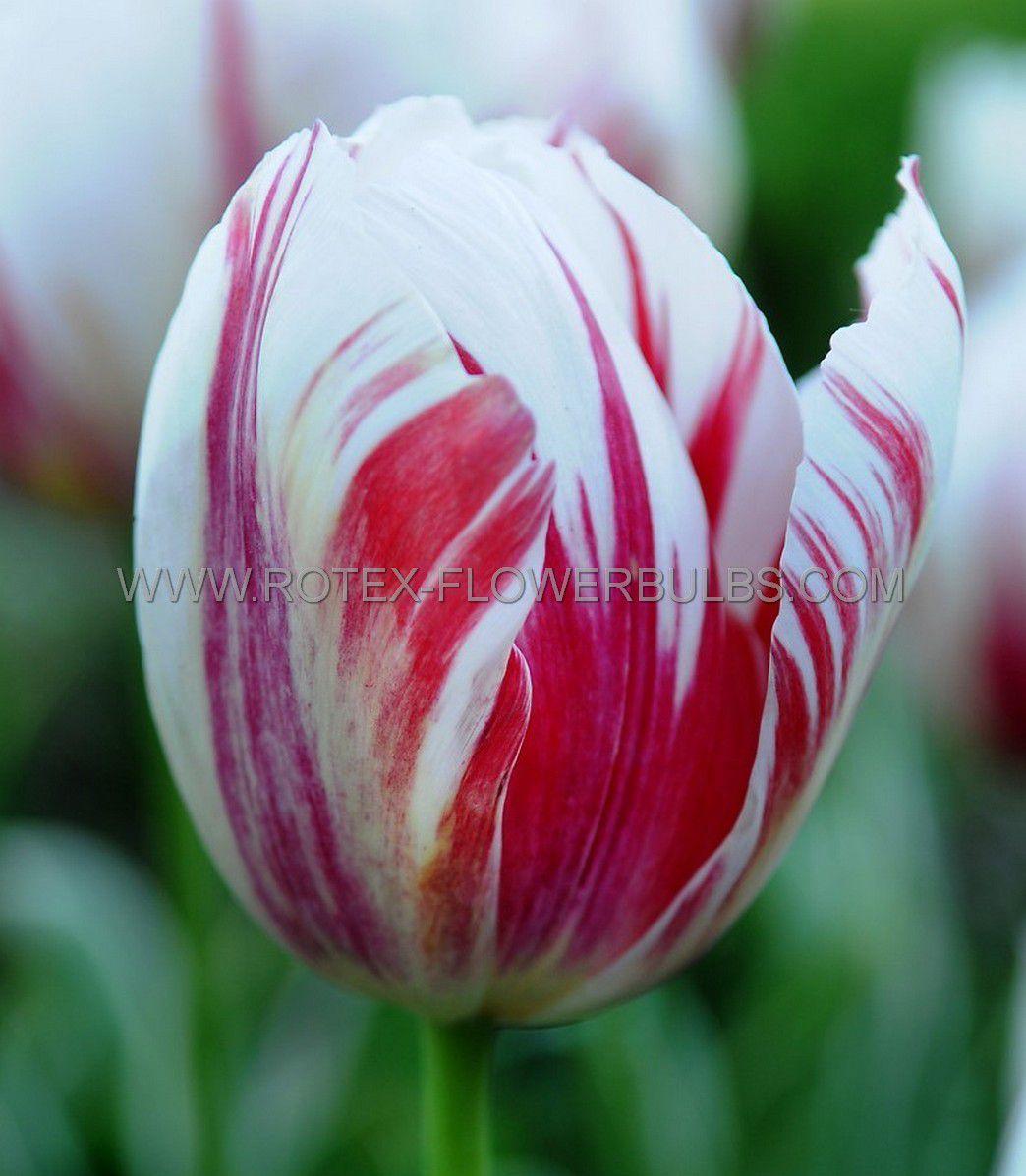 tulipa triumph happy generation 12 cm 100 pbinbox