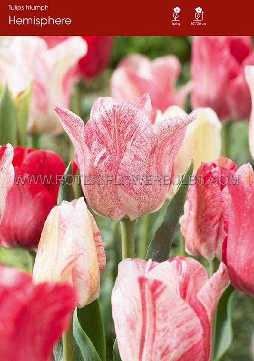 tulipa triumph hemisphere 12 cm 100 pbinbox