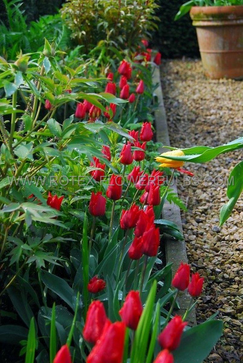 tulipa triumph ile de france 12 cm 100 pbinbox