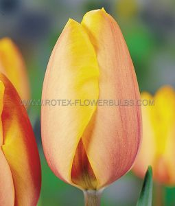 TULIPA TRIUMPH 'INDIAN SUMMER' 12/+ CM. (100 P.BINBOX)