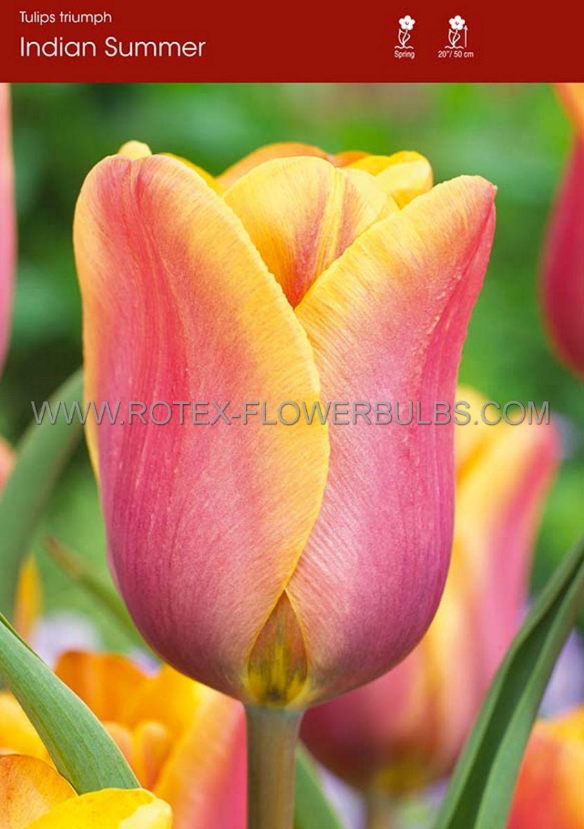 tulipa triumph indian summer 12 cm 100 pbinbox