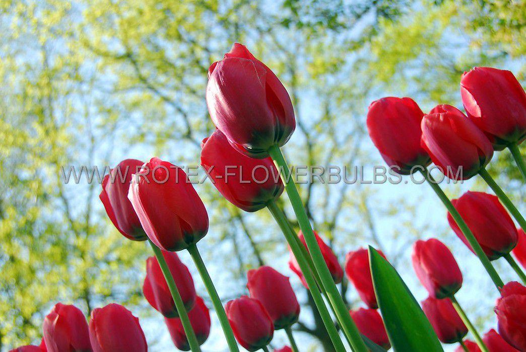 tulipa triumph invader 12 cm 100 pbinbox