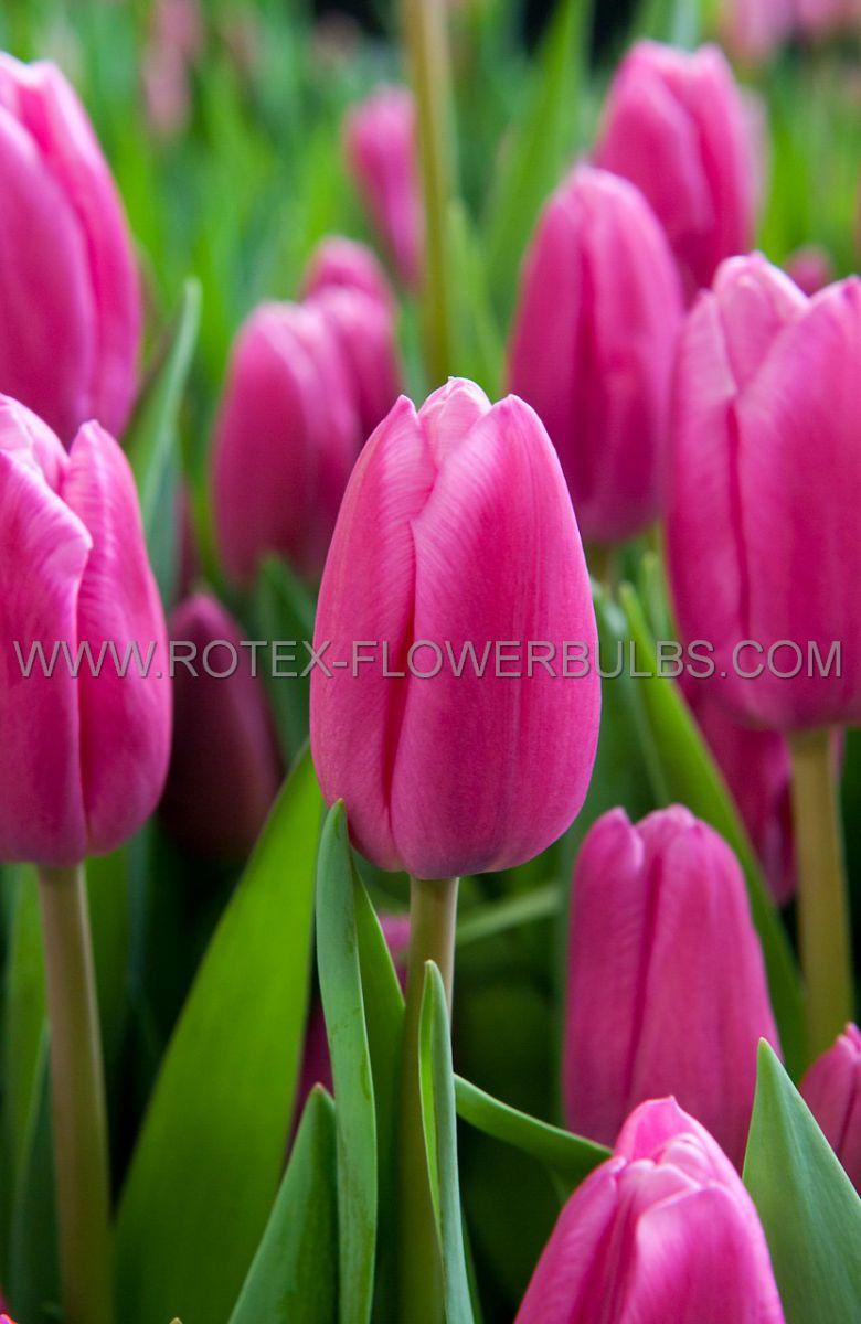 tulipa triumph involve 12 cm 100 pbinbox