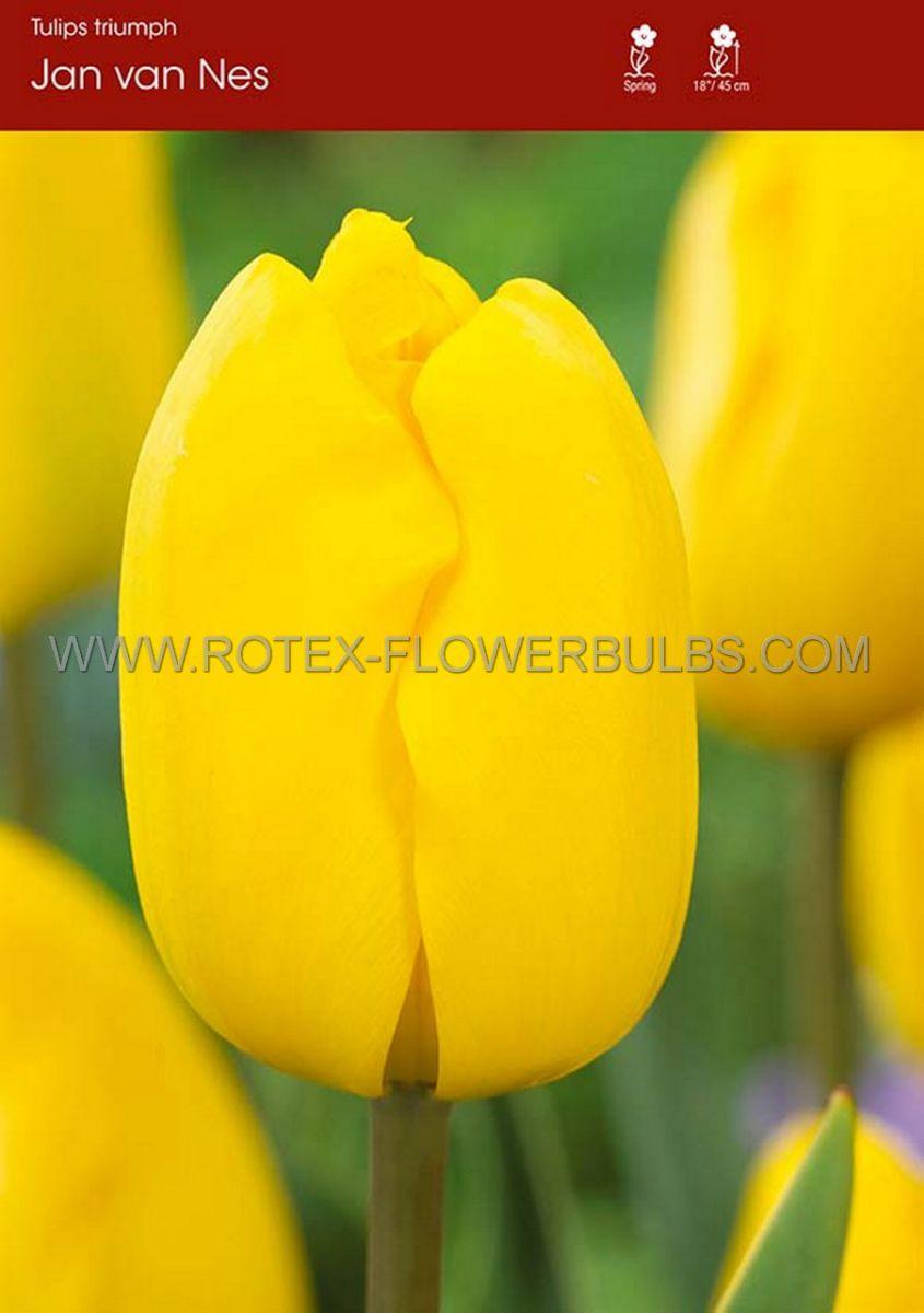 tulipa triumph jan van nes 12 cm 100 pbinbox
