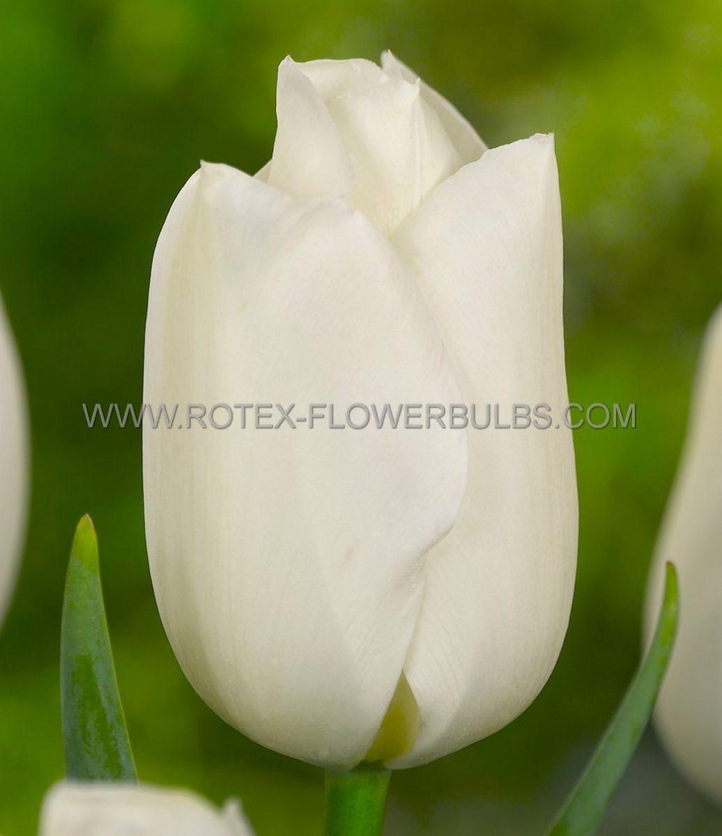 tulipa triumph kansas 12 cm 100 pbinbox