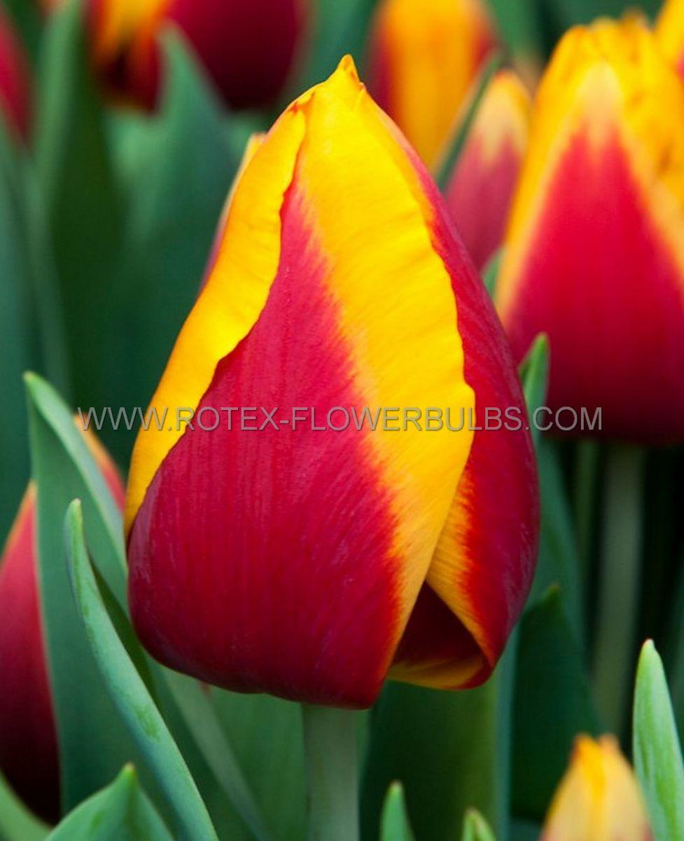 tulipa triumph kees nelis 12 cm 100 pbinbox