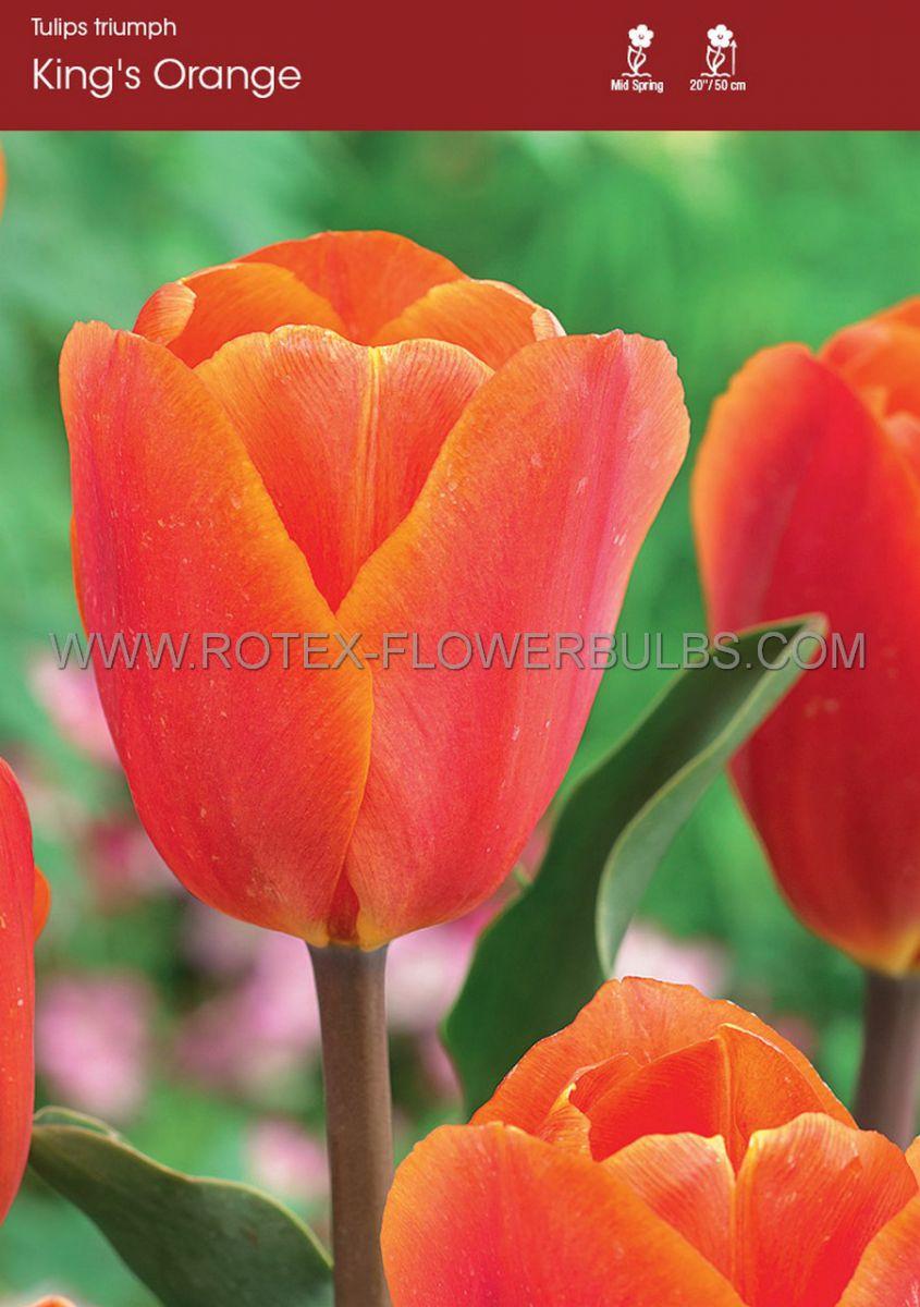 tulipa triumph kings orange 12 cm 100 pbinbox