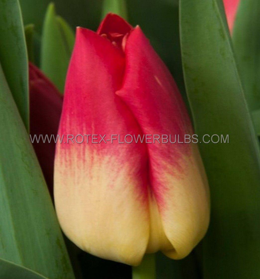 tulipa triumph match 12 cm 100 pbinbox