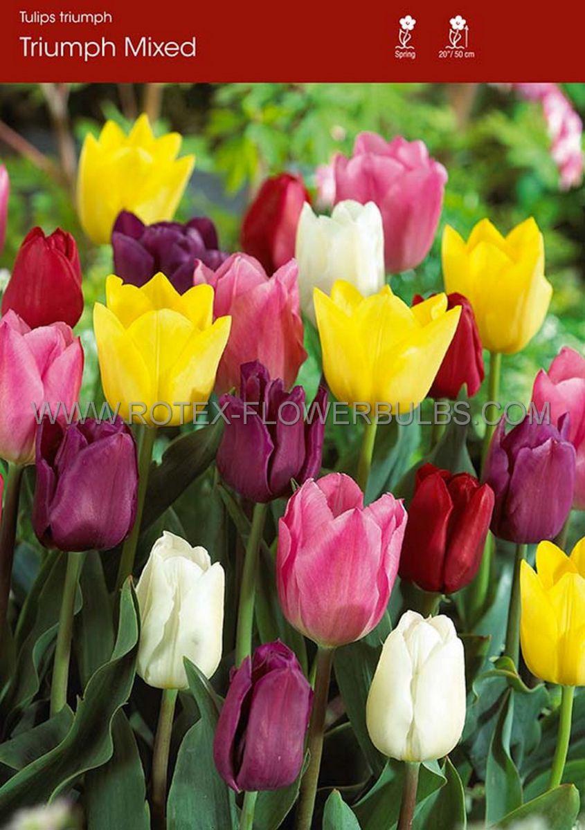 tulipa triumph mix 12 cm 500 pplastic tray