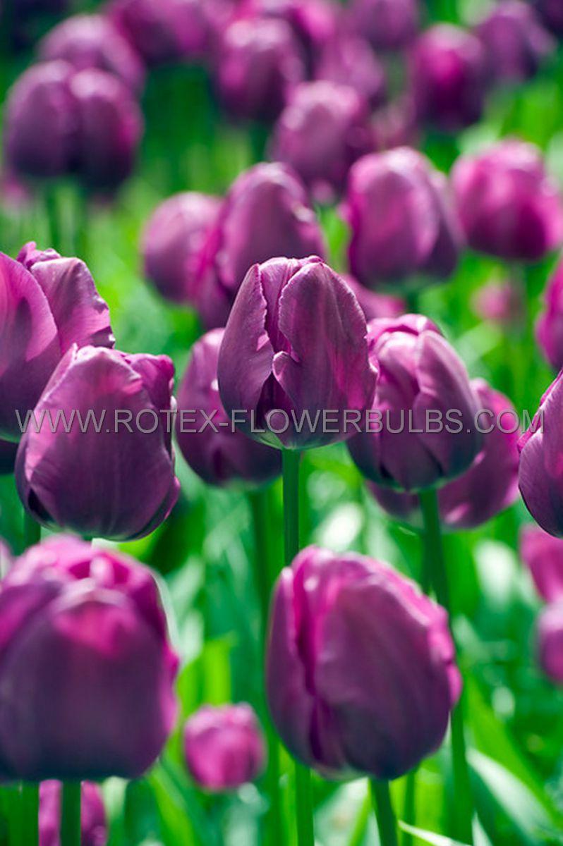 tulipa triumph negrita 12 cm 100 pbinbox