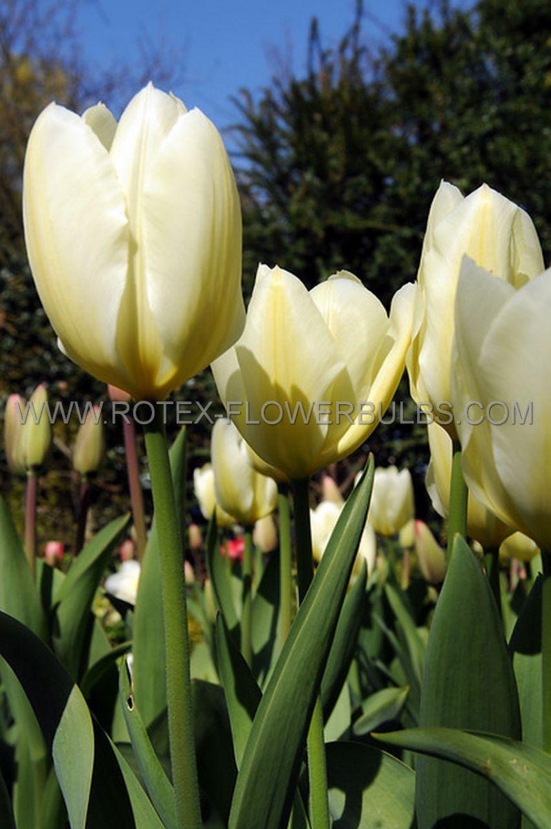 tulipa triumph pim fortuyn 12 cm 100 pbinbox