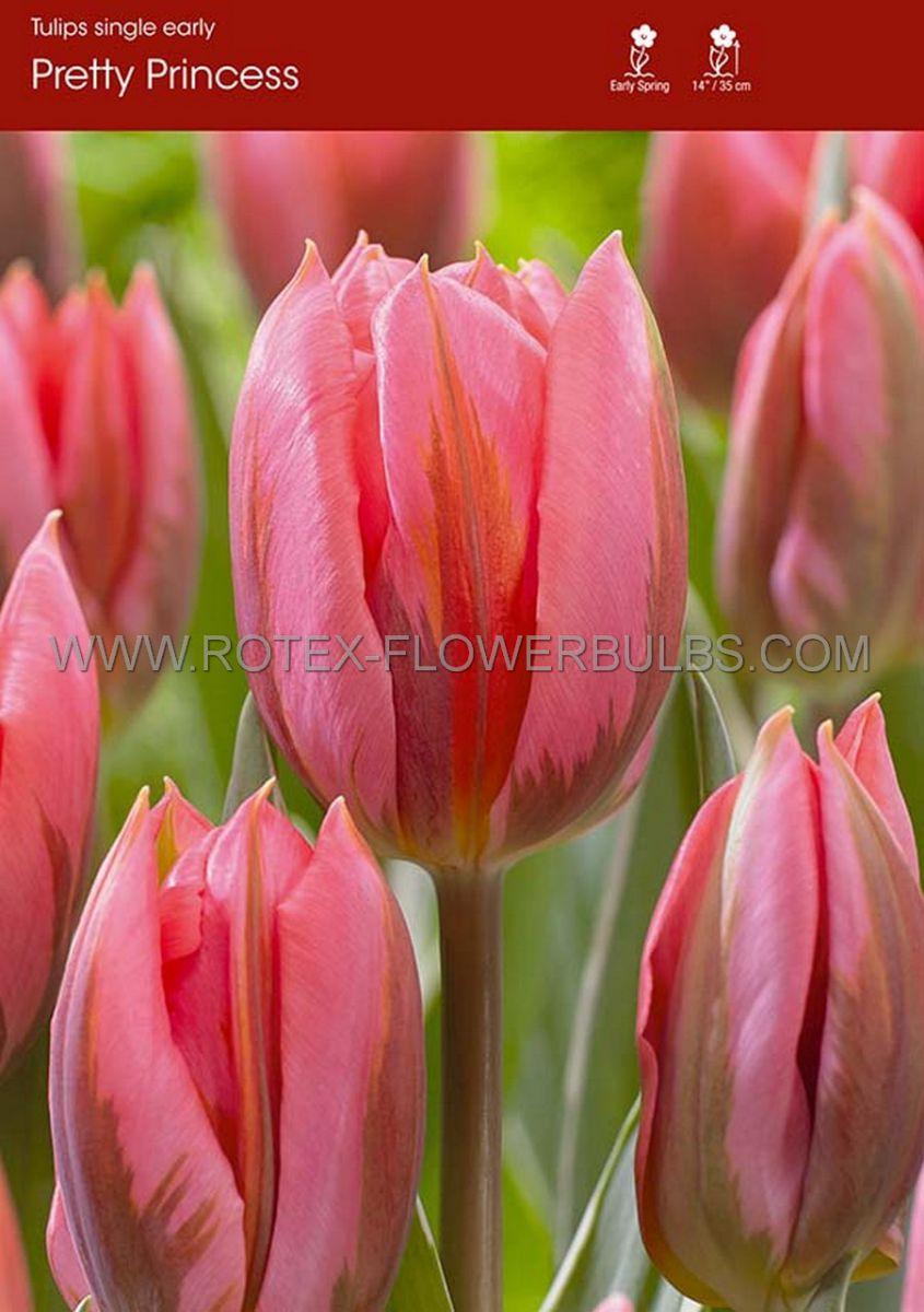 tulipa triumph pretty princess 12 cm 100 pbinbox