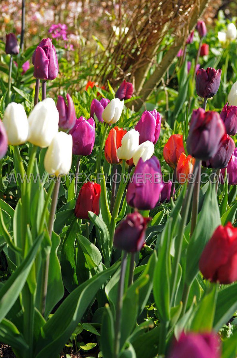 tulipa triumph prince garden mix 12 cm 100 pbinbox