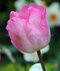 TULIPA TRIUMPH 'ROSALIE' 12/+ CM. (100 P.BINBOX)