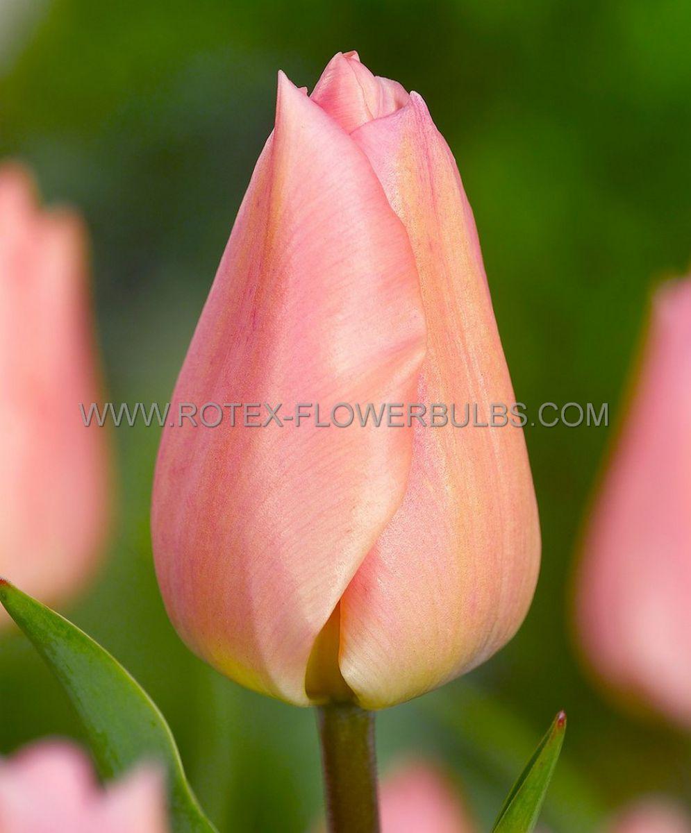 tulipa triumph salmon pearl 12 cm 100 pbinbox