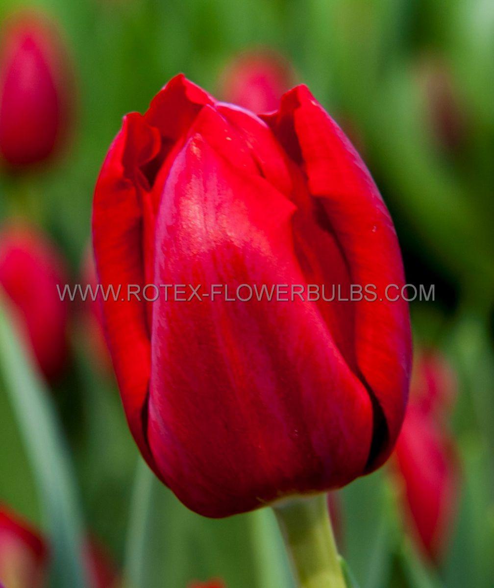 tulipa triumph seadov 12 cm 100 pbinbox