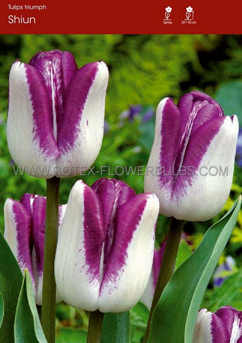 tulipa triumph shiun 12 cm 100 pbinbox