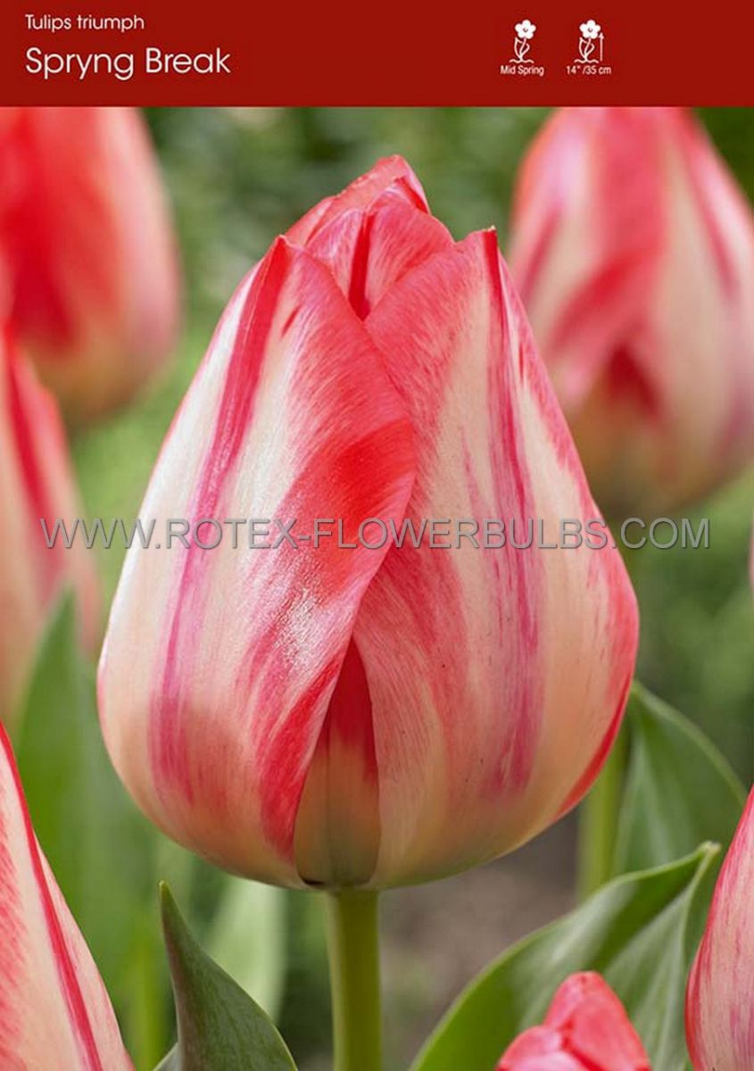 tulipa triumph spryng break 12 cm 100 pbinbox