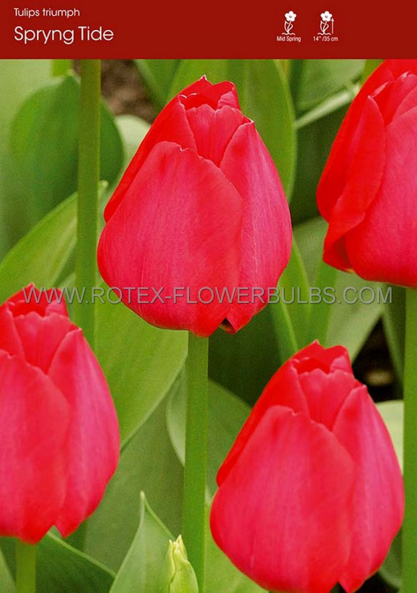 tulipa triumph spryng tide 12 cm 100 pbinbox