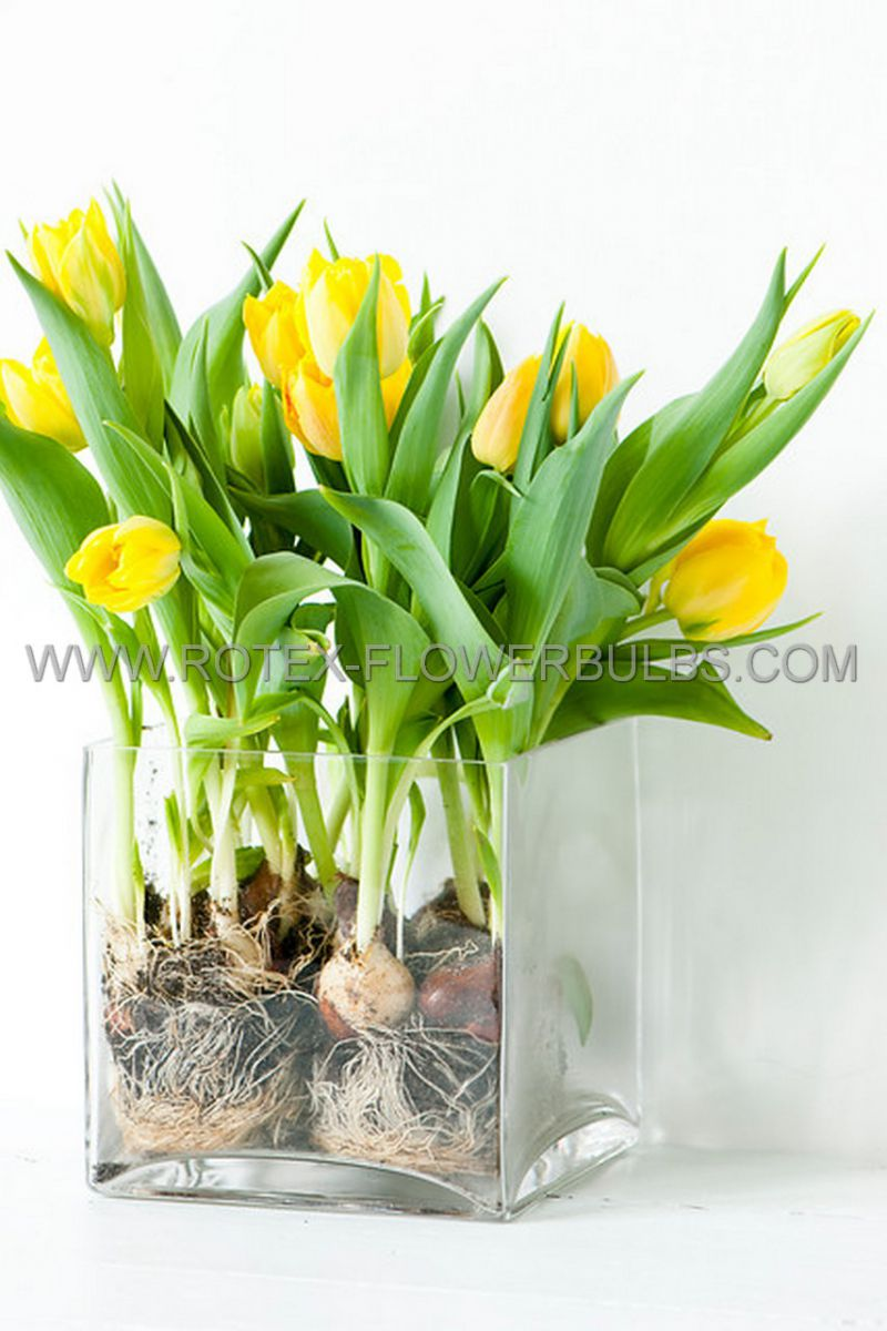 tulipa triumph strong gold 12 cm 100 pbinbox