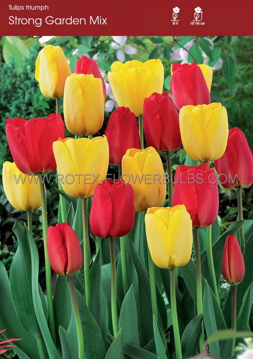 tulipa triumph strong mixed garden 12 cm 100 pbinbox